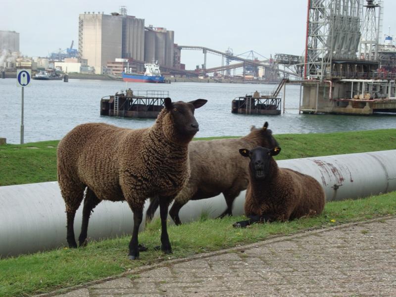 De schapen van T&G.
