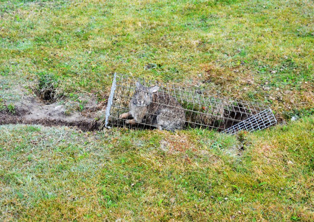Gevangen konijn door fretteren